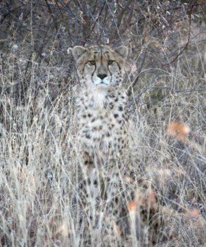 CheetahPhoneCover